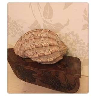 天然海螺 楊桃螺