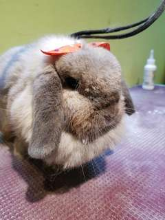 Professional and affordable rabbit grooming at $20!!!