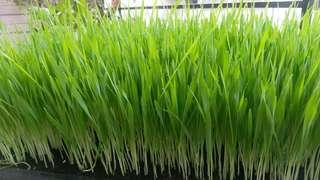 🚚 貓草種子/小麥草種子/大麥種子-可選三包