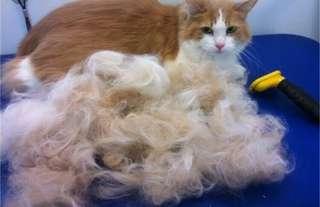 Professional cat grooming june promo @45
