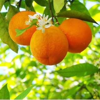 Orange Blossom Fragrance Oil