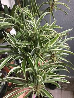 Spider Plant (Free with Purchase)