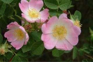 Briar Rose Fragrance Oil