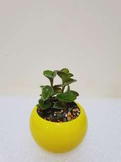 Mini Succulent Plant (yellow)