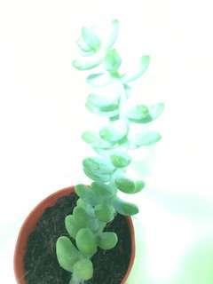 Burro's Tail