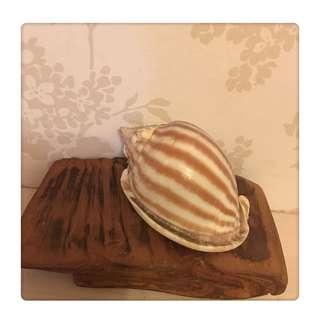 🚚 天然海螺 ~ 條紋鬘螺
