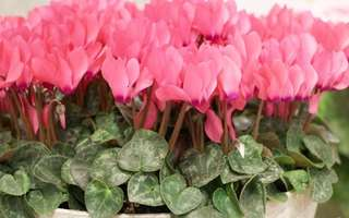 Cyclamen Mix Colour Seeds