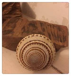 天然海螺 ~ 車輪螺
