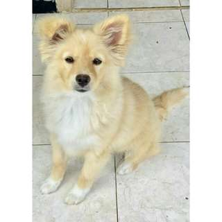 Anjing golden retriever mix alsatian