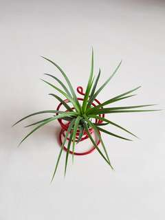 Air Plant with stand for sale!