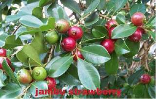 Pokok Jambu Strawberry