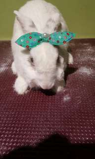Rabbit grooming svcs (home based avail too) from $20
