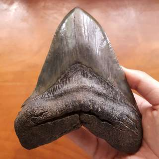 "🚚 6.1"" MASSIVE Megalodon Shark Tooth Fossil SC USA"
