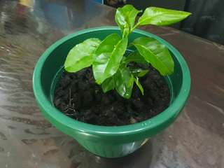 Ponkan Plant from Seeds