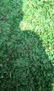Rumput gajah mini / jual rumput gajah mini