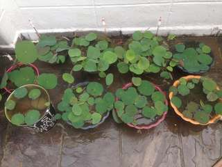 Water lotus plants