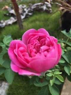 Pokok bunga ros (Maggie)