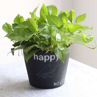 Indoor Foliage For Sale: Money Plant