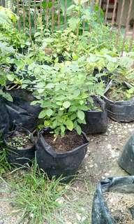 Bunga telang plant