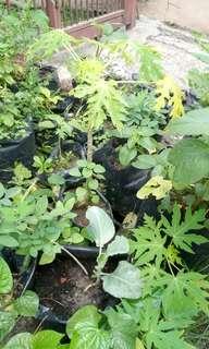 Basil, curry leaves, papaya, durian, kailan, mugwort