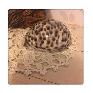 🚚 天然貝殼 夏威夷 黑星寶螺