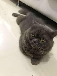 Kucing persia peaknose abu2