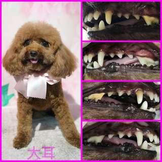 免麻醉洗牙 無麻醉洗牙 免麻醉除牙石 無麻醉除牙石 狗