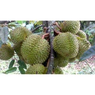 Durian Fest at Durian Farm in Batam & stay at Crown Vista Hotel + Tour with Lunch and Dinner 2D1N