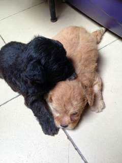 1month old Poodle Puppies
