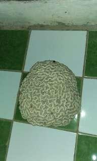 Batu karang bentuk otak manusia
