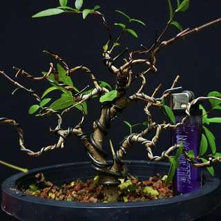 Bonsai Jeliti