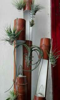 Air plant for sale