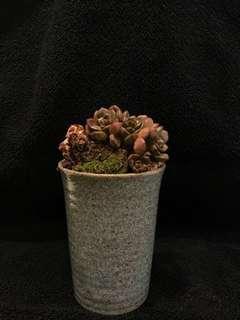 Succulents bonsai