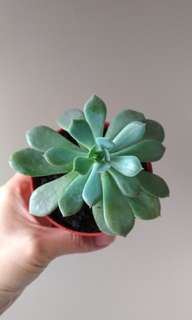 Healthy echeveria succulent