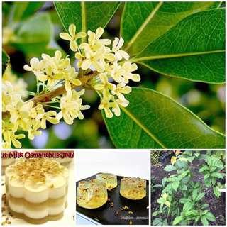 Pokok Bunga Osmanthus Fragrans