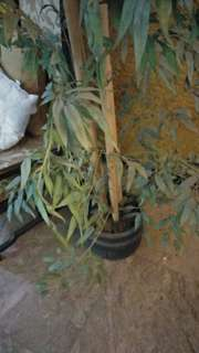 Decorative Indoor Bamboo Plants (2)