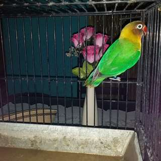 Burung loverbirt