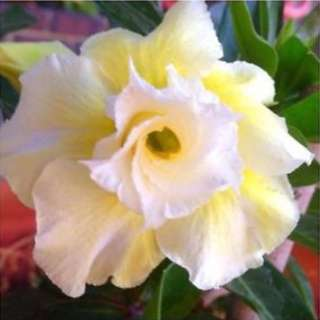White/Yellow Double Flower Desert Rose Seeds