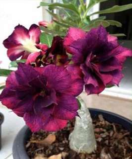 Purple/Red Double Flower Desert Rose Seeds