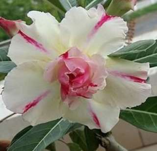 Double Flower Mix Colour Desert Rose Flower Seeds