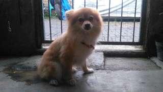 Anjing Mini Pom Dewasa Umur 24 Bulan Jantan Sehat Terawat