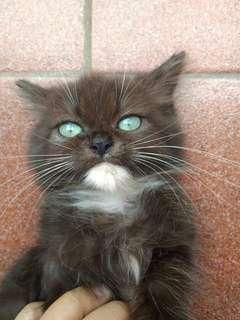 Kucing ras anggora siap di adopsi. Harga bisa nego.