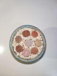 現貨 1set 7粒 曲玉 石生花 送1粒其他品種 共8粒