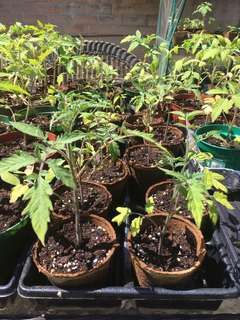 Tomato plants available now!