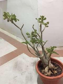 Adenium/ desert Rose (chili red)