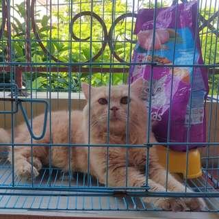 Kucing Persia Jantan Lengkap Kandang dan Whiskas