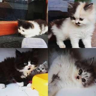 Kucing anakan
