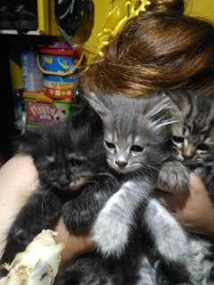 Persian Cat Kittens