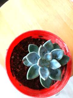 Jade leaf...ever green plant. It can be grown indoor or outdoor. Easy to grow.