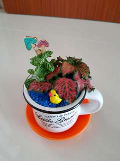 Fittonia for office & gift!